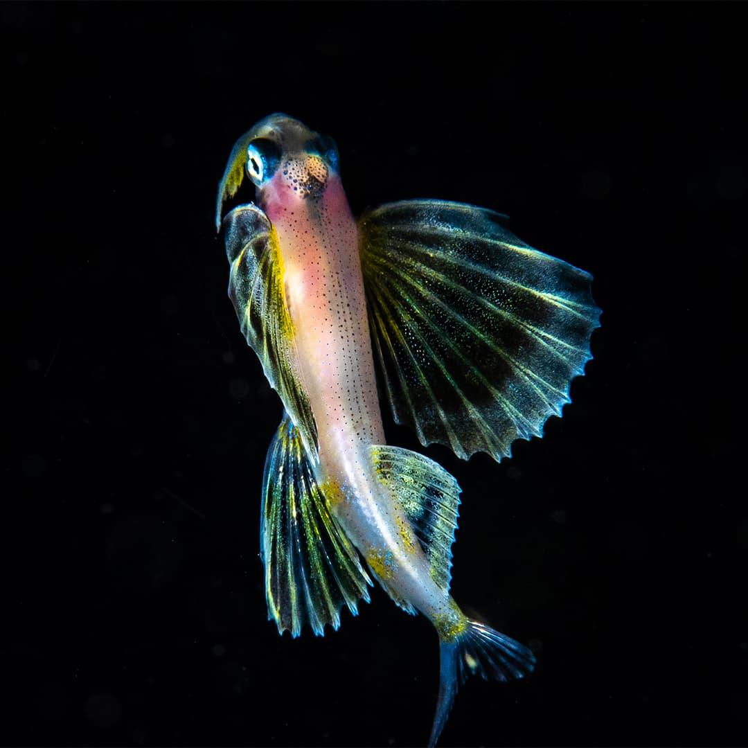 Juvenile flying fish